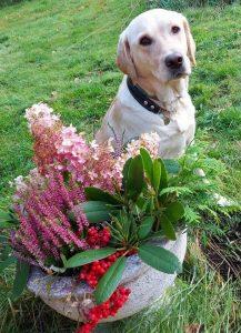 Vaalea labradorinnoutaja, opaskoira Clara istuu ruohikolla syksyisen kukka-asetelman vieressä